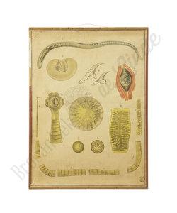 Zoölogische schoolplaat - Anatomie slang Nr. 3