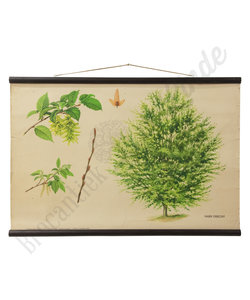 Botanische schoolplaat - Haagbeuk