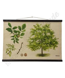 Botanische schoolplaat - Walnoot