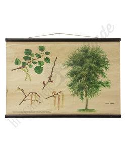 Botanische schoolplaat - Ratelpopulier