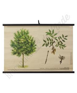 Botanische schoolplaat - Es