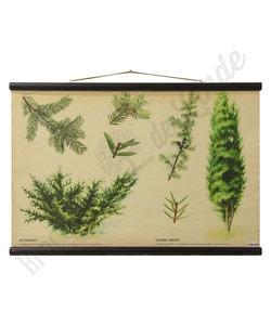 Botanische schoolplaat - Jeneverbes