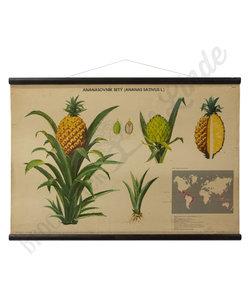 Botanische schoolplaat - Ananas plant