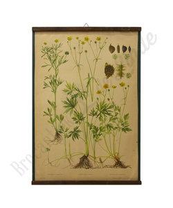 Botanische schoolplaat - Scherpe boterbloem