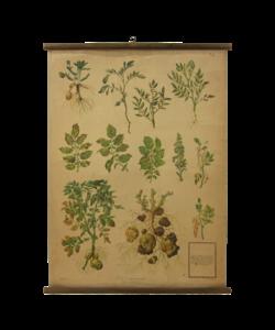Botanische schoolplaat - Aardappel/schimmel