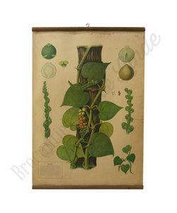 Botanische schoolplaat - Peper plant