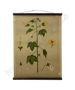 Botanische schoolplaat - Katoen plant