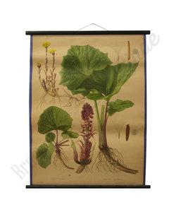 Botanische schoolplaat - Klein/groot hoefblad
