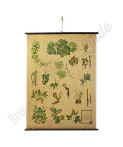 Botanische schoolplaat - Vruchten/schimmel