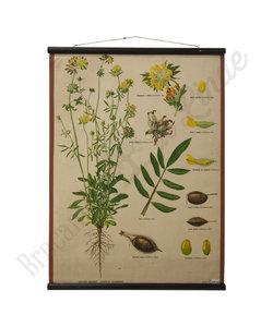 Botanische schoolplaat - Wondklaver