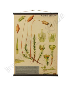 Botanische schoolplaat - Gewoon haarmos