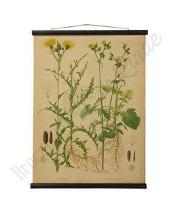 Botanische schoolplaat - Akkermelkdistel