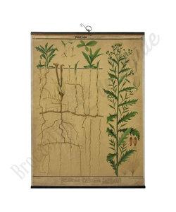 Botanische schoolplaat - Akkerdistel