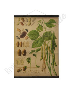 Botanische schoolplaat -Bonenzaden