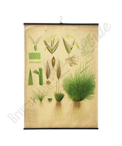 Botanische schoolplaat - Ruwe smele