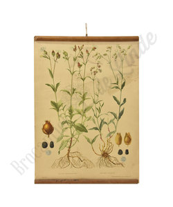 Botanische schoolplaat - Blaassilene