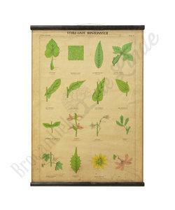 Botanische schoolplaat - Blad ontwikkeling