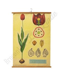 Botanische schoolplaat - Tulp
