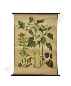 Botanische schoolplaat - Bilzekruid/Doornappel