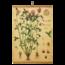 Botanische schoolplaat - Rode klaver