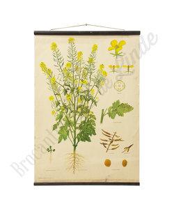 Botanische schoolplaat - Witte mosterd