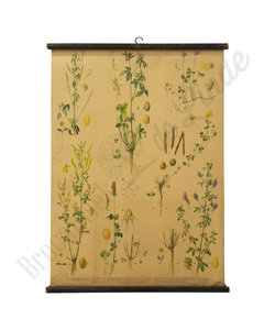 Botanische schoolplaat - Honingklaver