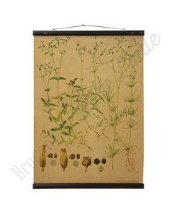 Botanische schoolplaat - Akkerhoornbloem