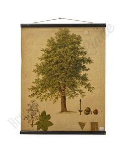 Botanische schoolplaat - kastanjeboom