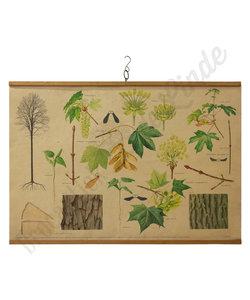 Botanische schoolplaat - Esdoorn