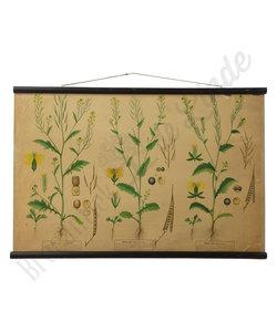 Botanische schoolplaat - Knopherik/Brassica rapa/Herik