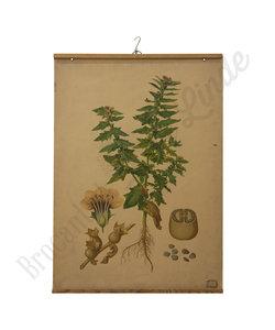 Botanische schoolplaat - Bilzekruid plant