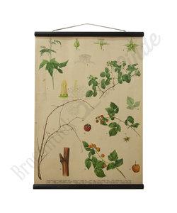 Botanische schoolplaat - Framboos