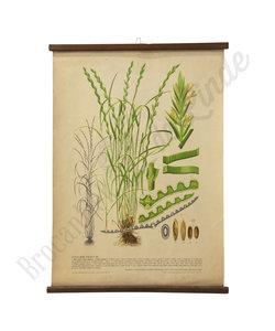 Botanische schoolplaat - Gecultiveerd gras III