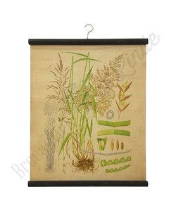Botanische schoolplaat - Gecultiveerd gras XV