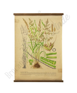 Botanische schoolplaat - Gecultiveerd gras XI