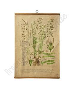 Botanische schoolplaat - Gecultiveerd gras X