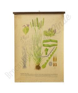 Botanische schoolplaat - Gecultiveerd gras XIII