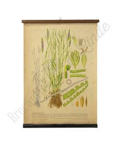 Botanische schoolplaat - Gecultiveerd gras XIV