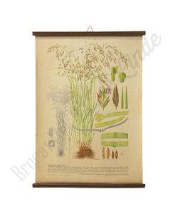 Botanische schoolplaat - Gecultiveerd gras VII