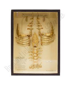 Opgezet skelet - Rivierkreeft