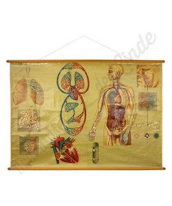 Anatomische schoolplaat 'Bloedvaten' No. 2