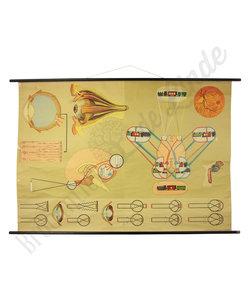 Anatomische schoolplaat 'Oog'