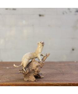 Opgezette Hermelijn