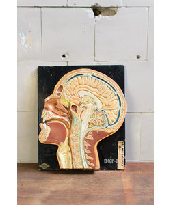 Anatomisch model - Doorsnede hoofd