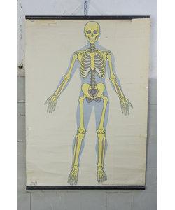 Anatomische schoolplaat - Skelet