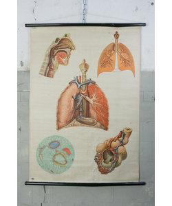 Anatomische schoolplaat - Longen