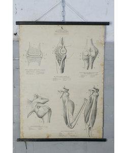 Anatomische schoolplaat - Gewrichten