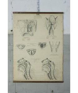 Anatomische schoolplaat - Uitleg strottenhoofd