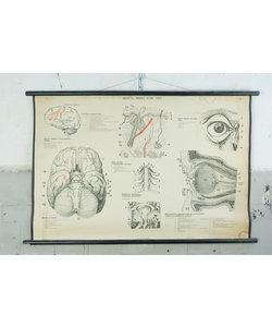 Anatomische schoolplaat - Brein, huid en oog