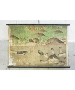Zoologische schoolplaat - Mollen